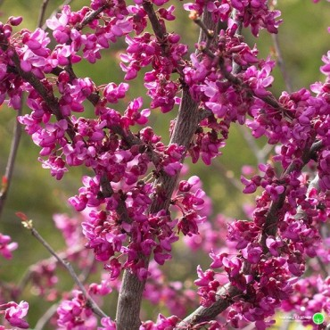Forest Pansy Eastern Redbud