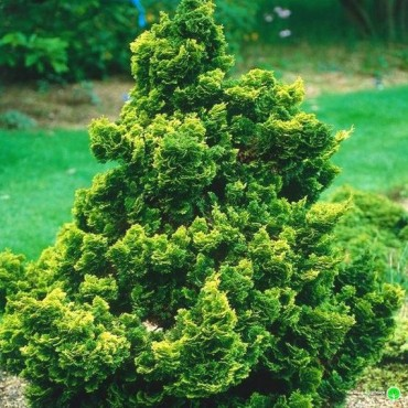 Graceful Dwarf Hinoki Falsecypress