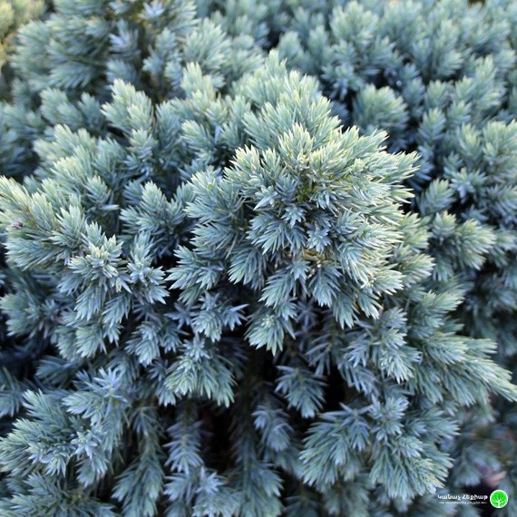 Blue Star Flaky Juniper